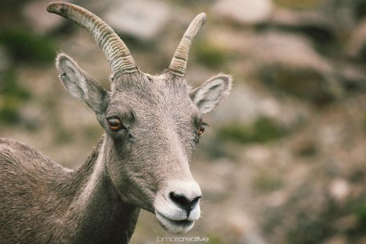 Mountain Goat by Bmor-Creative