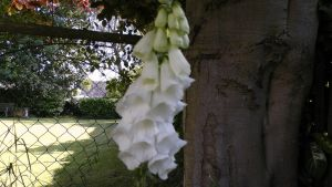 White FoxGlove by dragonfire70