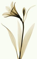 X-ray of Lily 2 by coopr