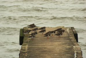 Small flock of ringed plover sitting out the wind by wafitz