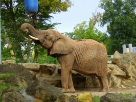 Animal Stock - Elephant II by elynna-stock