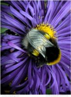 White Tailed Bumblebee by In-the-picture
