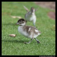 Baby Duck by TVD-Photography