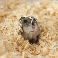 Emily the Hamster by taintedhybrid