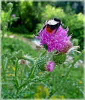 Pretty Thistle by cactusmumkate