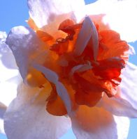 Squiggly Narcissus Heart by KeswickPinhead