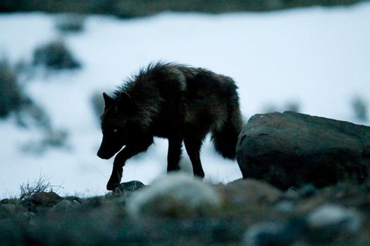 Grey Wolf on the Prowl by Iamidaho