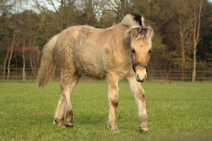 Fjord foal stock 7 by Bundy-Stock