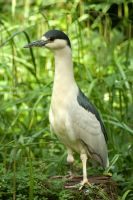 Black Crowned Night Heron 2 by steppeland
