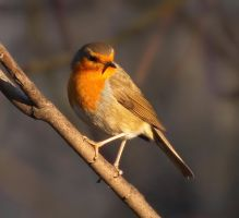 Erithacus rubecula by starykocur