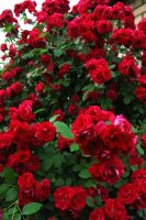 Red roses 4 by Enolla