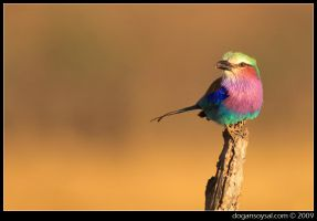LILAC BREASTED ROLLER by dogansoysal