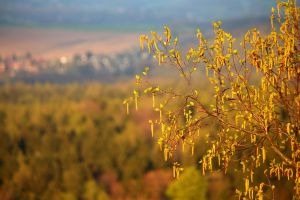 Birch in spring in front of landscape by LoveForDetails