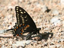 Black Swallowtail I by natureguy