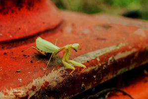 African Mantis-0180 by Christina-Phillips