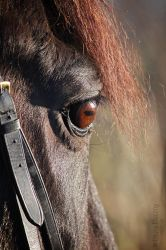 portrait of a black horse in the sun by Kluschi