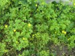 can you spot a four leaf clover by zellomine