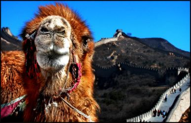Camel At the Great Wall by kimjew