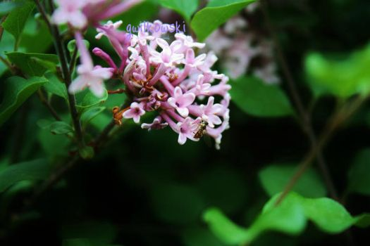 Bee and Lilacs by gwilkowski