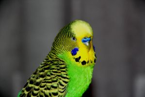 Budgie by Lapsy97