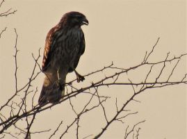 Red-shoudered Hawk by SylBird