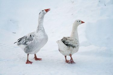 geese by FigoTheCat