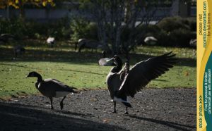 Canadian Goose 15 by RoonToo