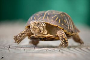 Ornate Box Turtle 2 by EdgedFeather