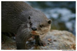 Otter Portrait II by TVD-Photography