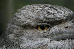 Tawny Frogmouth Owl 4 by shhhhh-art-Stock