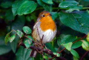 .:European Robin I:. by LSouthern