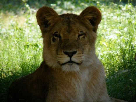 Lion in the Egyptian Giza Zoo by Hashem7