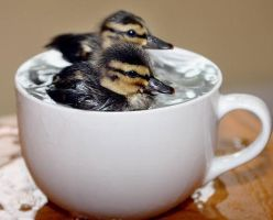 Ducks in the Cup by dayzhe