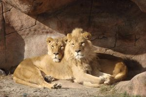 African Lions by asaph70