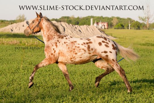 TB x Appy trot lead line by slime-stock