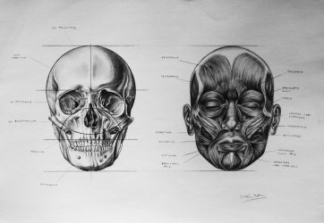 Skull Proportions - Facial muscles by blazs91