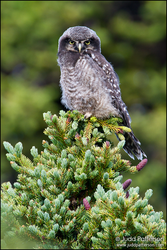 Northern Hawk-Owl by juddpatterson
