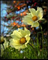 Autumn Cosmos by JocelyneR