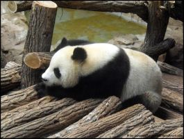 Giant panda 3 by Cansounofargentina
