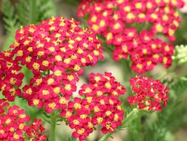red flowers with playful ants by DisneyPrincessNeeNee