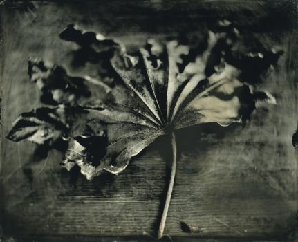 Dead leaf by OlEric