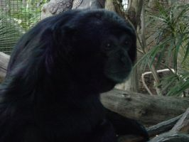 Siamang 006 by Elluka-brendmer