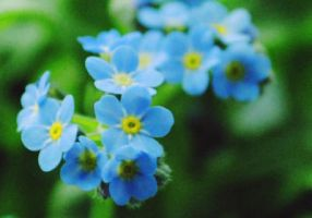 forget-me-not by propan3