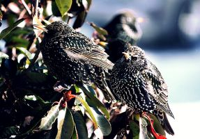 Starlings in Winter by ciseaux