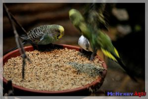 budgies by mchenry