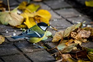Tomtit by Garet-Neall