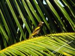 Yellow-winged Cacique by SilverMoon-Archer
