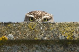 I'm watching you - little owl by Jamie-MacArthur