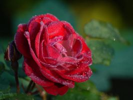 Rose by 75ronin