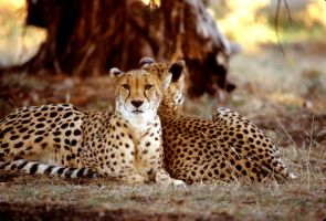 Two Cheetahs 7 by Art-Photo